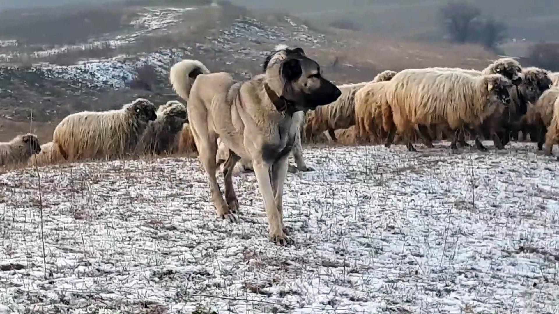 ANADOLU COBAN KOPEGi GOREVi BASINDA HAZIR - ANATOLiAN SHEPHERD DOG at MiSSiON