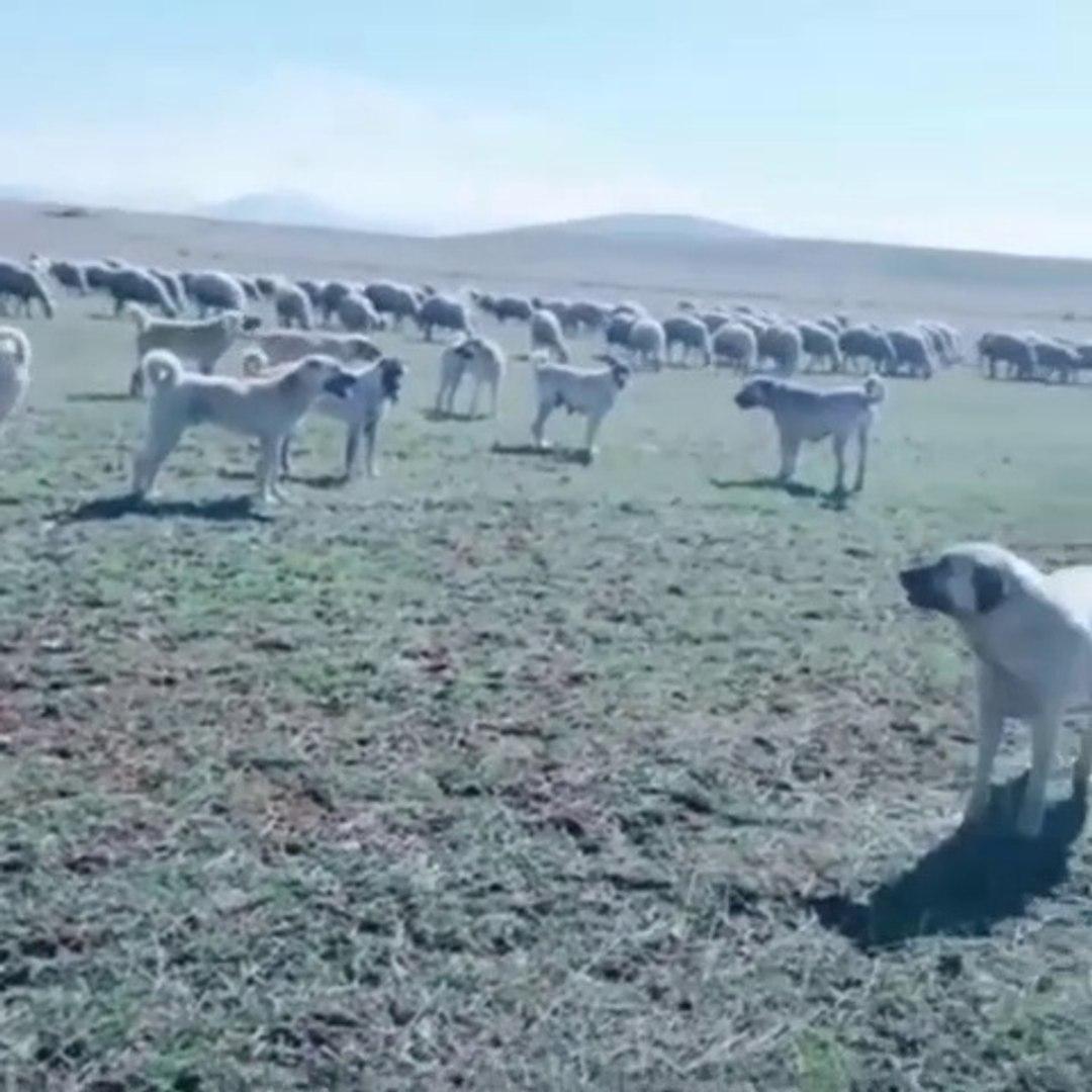 BiR DUZiNE SiVAS KANGAL KOPEKLERi GOREV BASINDA - KANGAL SHEPHERD DOGS and SHEEPS at MiSSiON