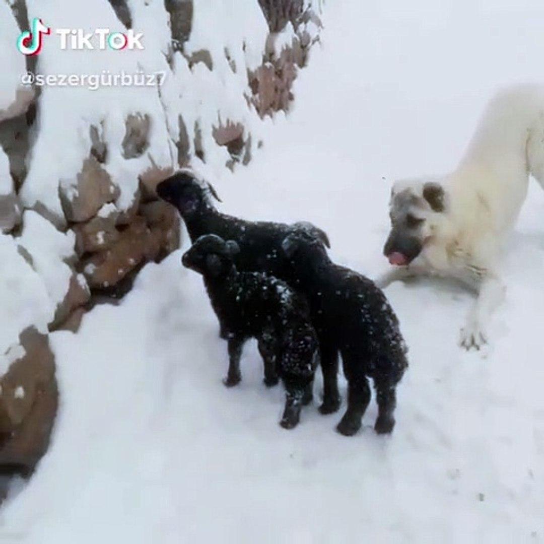 KANGAL ve KOYUN YAVRULARININ KAR SEViNCi - KANGAL DOG and SHEEP PUPPiES HAPPY SNOW