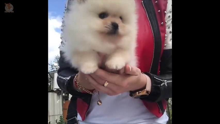 Mini Pomeranian - Funny and Cute Pomeranian Videos #10 - CuteVN