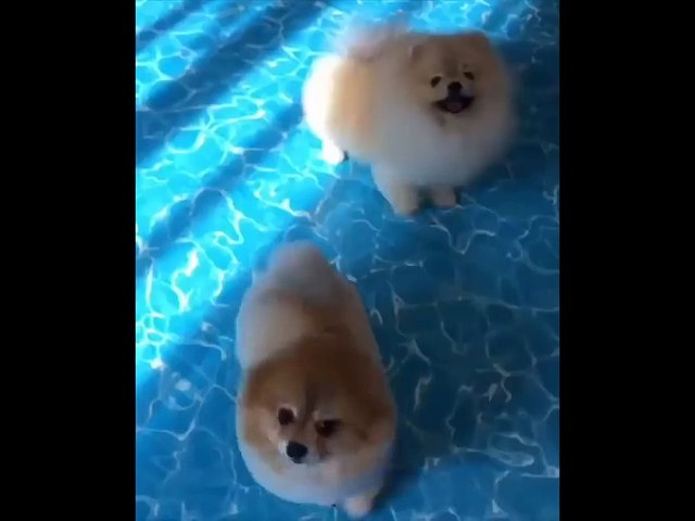 Mini Pomeranian - Funny and Cute Pomeranian Videos #6 - CuteVN (1)