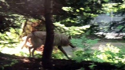 A la découverte des trois loups blancs arctiques du parc Alpha dans le Mercantour