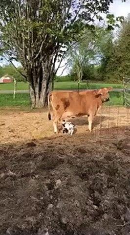 Cette vache a adopté des bébés chèvres... Adorable
