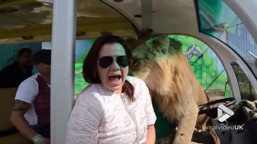 Des lions rendent visite à des touristes... dans leur voiture