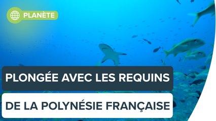 Voyage parmi les requins en Polynésie française, avec Steven Surina | Futura