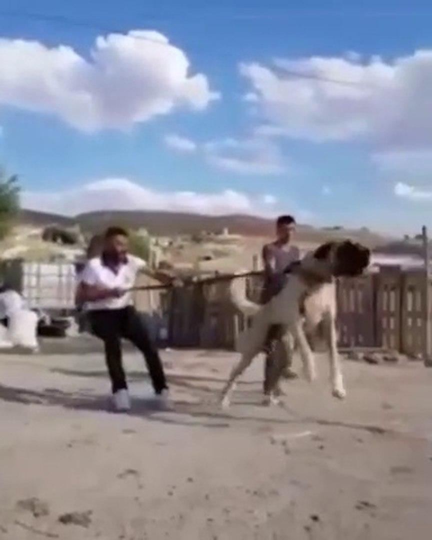 ANADOLU COBAN KOPEGiNi ZOR ZAPT ETTiLER - VERY ANGRY ANATOLiAN SHEPHERD DOG