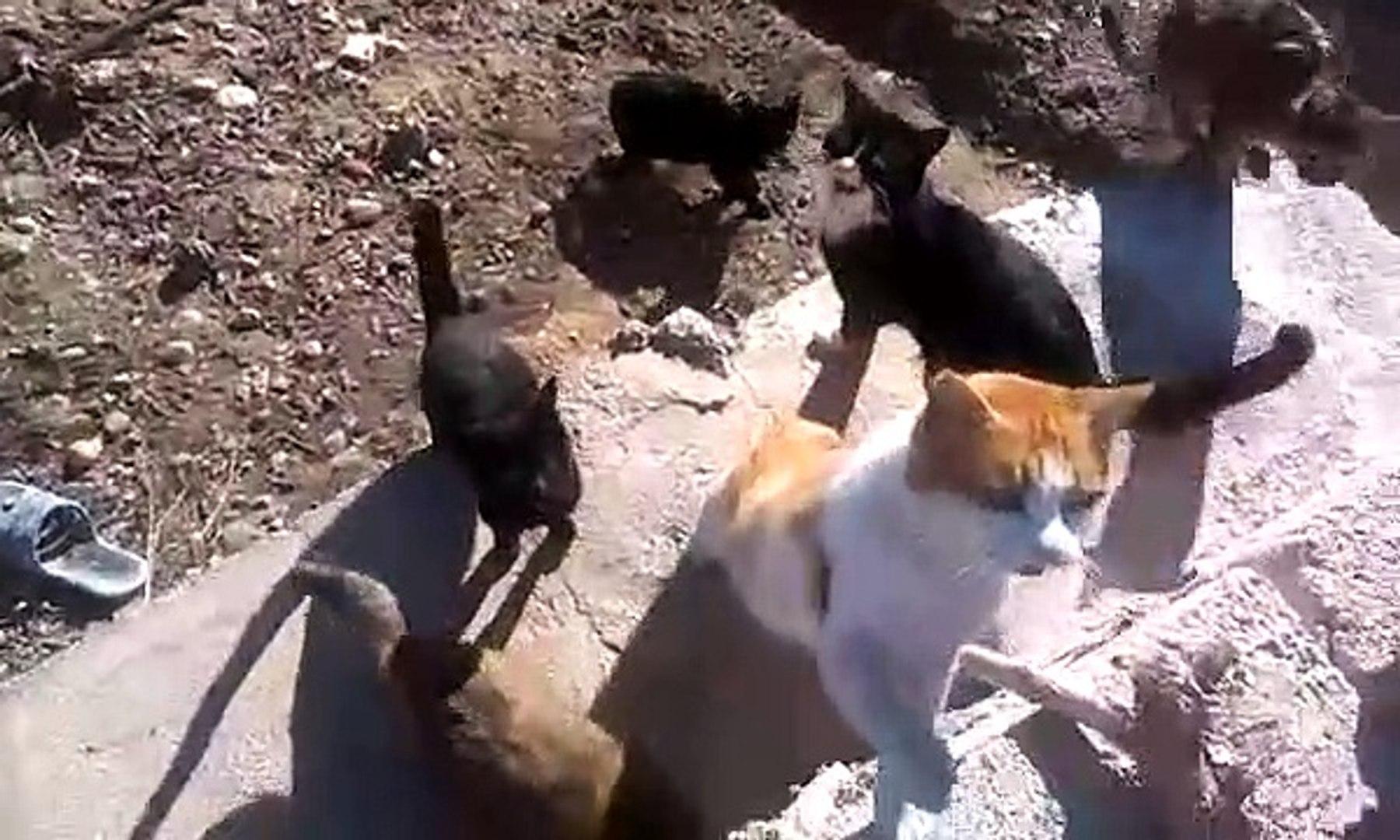 Kedi sesleri kedi miyavlaması AC kedi miyavlaması sesleri videoları