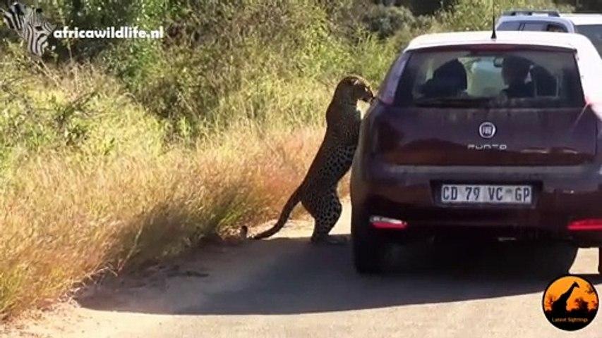 Un léopard se regarde dans le rétroviseur