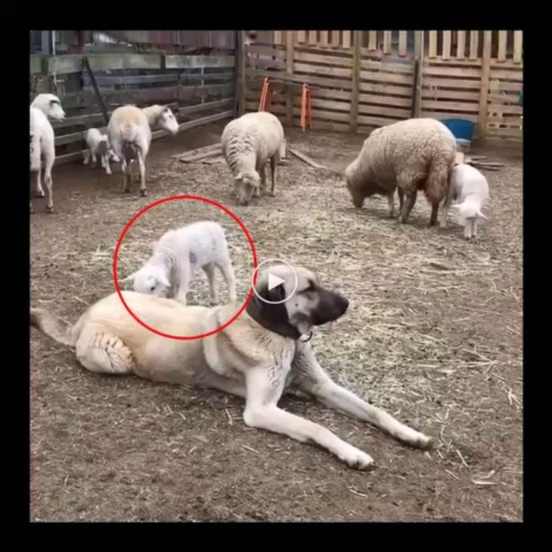KUZULAR ve SiVAS KANGAL KOPEGi - SHEEP and ANATOLiAN SHEPHERD DOG KANGAL