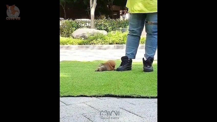 Mini Pomeranian - Funny and Cute Pomeranian Videos #5 - CuteVN