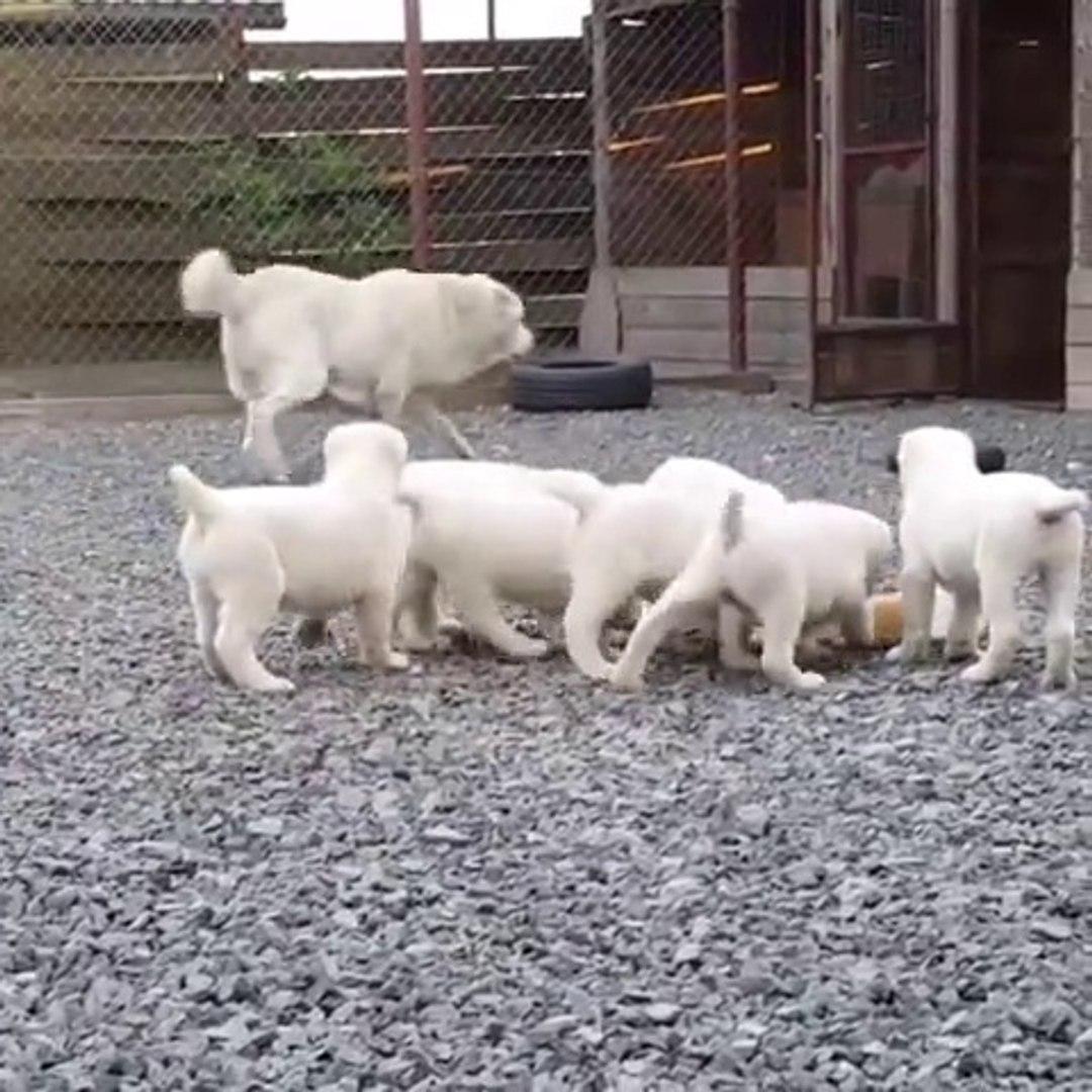 ALABAY COBAN KOPEGi YAVRULARI SABAH ANTREMANLARI - ALABAI SHEPHERD DOG PUPPiES EXERCiSES