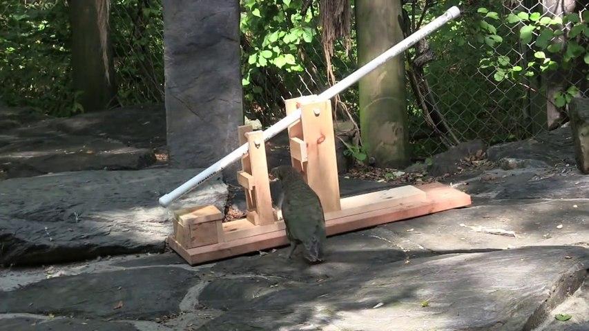 Ce perroquet résout un casse-tête en quelques secondes... Animal très intelligent