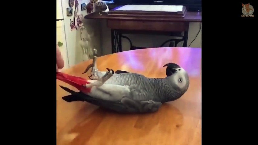 Cute Parrots Doing Funny Things #12 -  Cutest Parrots In The World