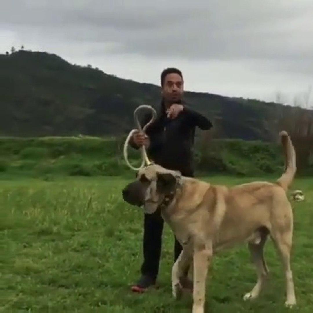 DEV ANADOLU COBAN KOPEGi - GianT ANATOLiAN SHEPHERD DOG
