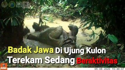 Bikin Gemas, Badak Jawa Terekam Beraktivitas di Ujung Kulon