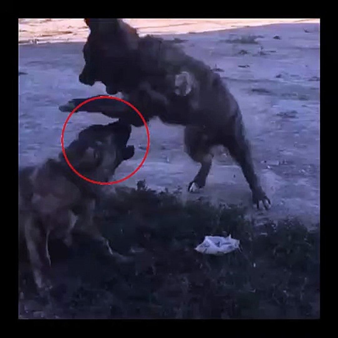 CAPAR ANADOLU COBAN KOPEKLERi EGZERSiZLERi - CAPAR ANATOLiAN SHEPHERD DOG EXERCiSE