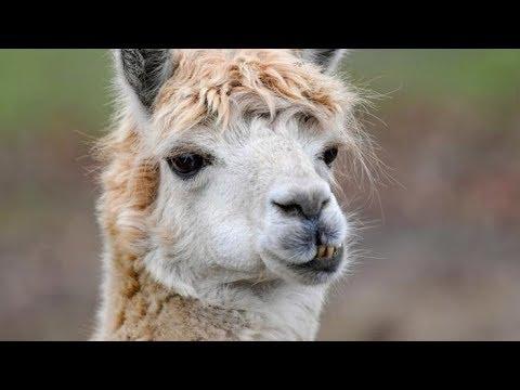 Coronavirus-News aktuell: Studien-Durchbruch! Verhindern Alpakas eine zweite Corona-Welle?
