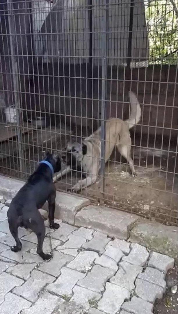 PiTBULL vs SiVAS KANGAL KOPEGi KARSILASMA - PiTBULL DOG vs KANGAL DOG