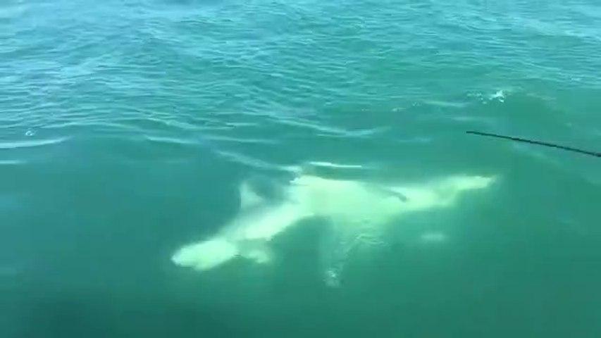 Un grand requin blanc vient dévorer la queue d'un autre requin