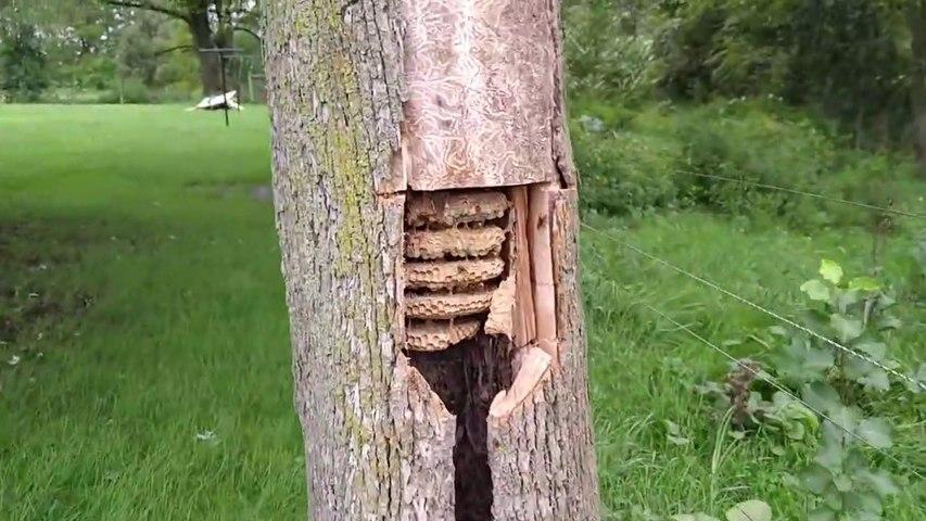 Ce qu'il découvre à l'intérieur de ce tronc d'arbre est impressionnant : essaim de guêpe géant