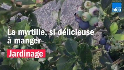 Roland Motte, jardinier : la myrtille, délicieuse à manger