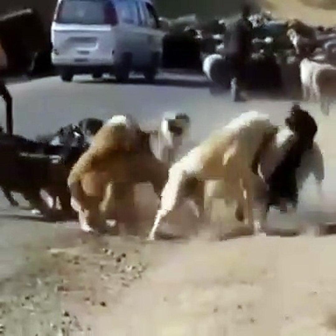 iRANDA COBAN KOPEKLERiNiN KIYASIYA KAPISMASI - PERSiAN SHEPHERD DOGS VS