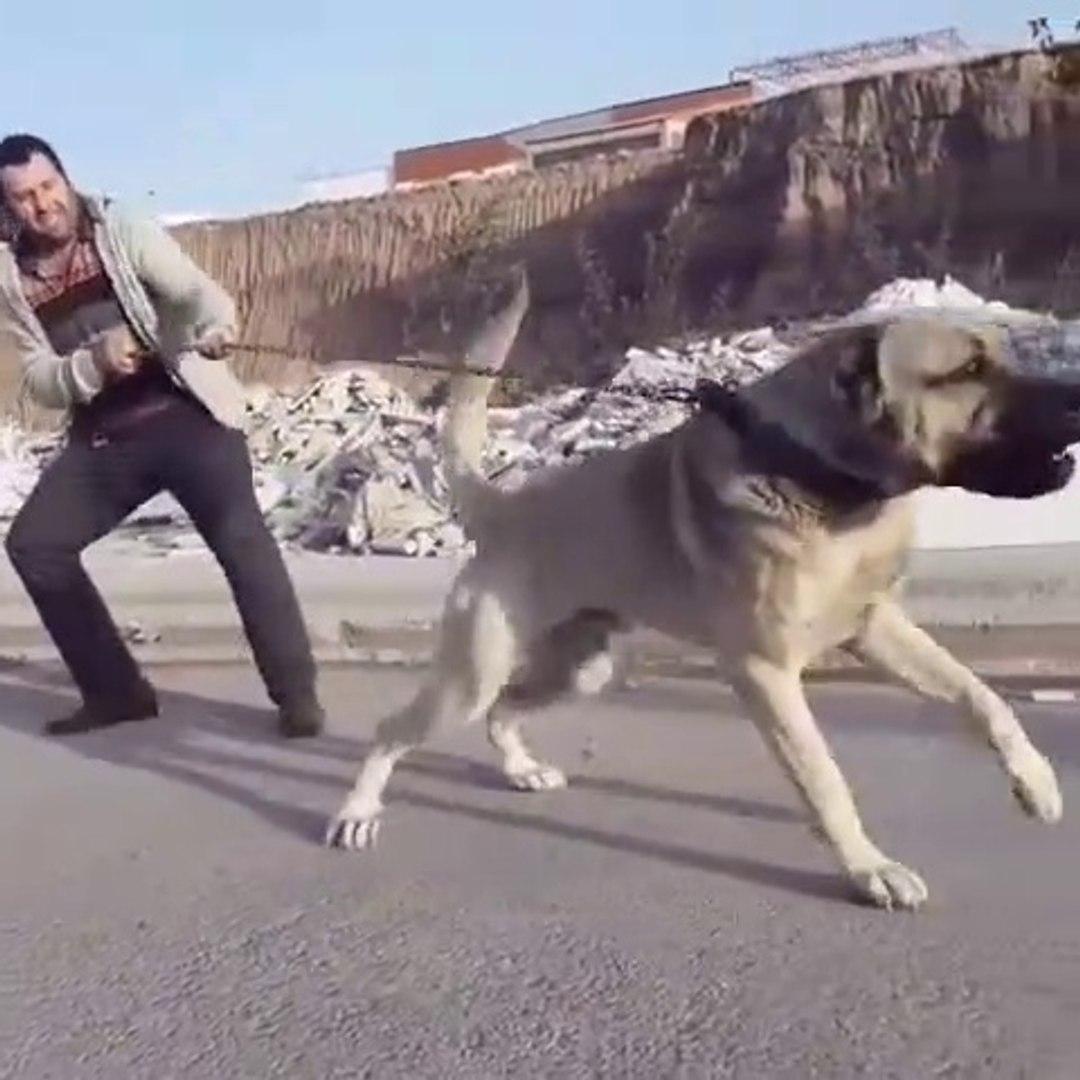 ADAMCI ve SERT ANADOLU COBAN KOPEGi - ANGRY ANATOLiAN SHEPHERD DOG