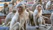 Quand des milliers de singes envahissent une ville entière en Thaïlande   VIDÉO NEWS