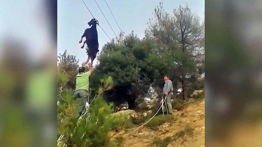 Mais comment cette chèvre s'est retrouvée accrochée à un fil électrique