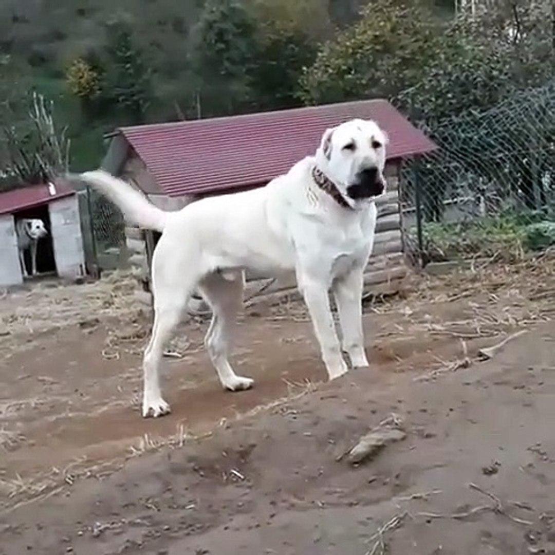 ADAMCI BAHCE KORUMA ANADOLU COBAN KOPEGi - GARDEN SECURiTY ANATOLiAN SHEPHERD DOG