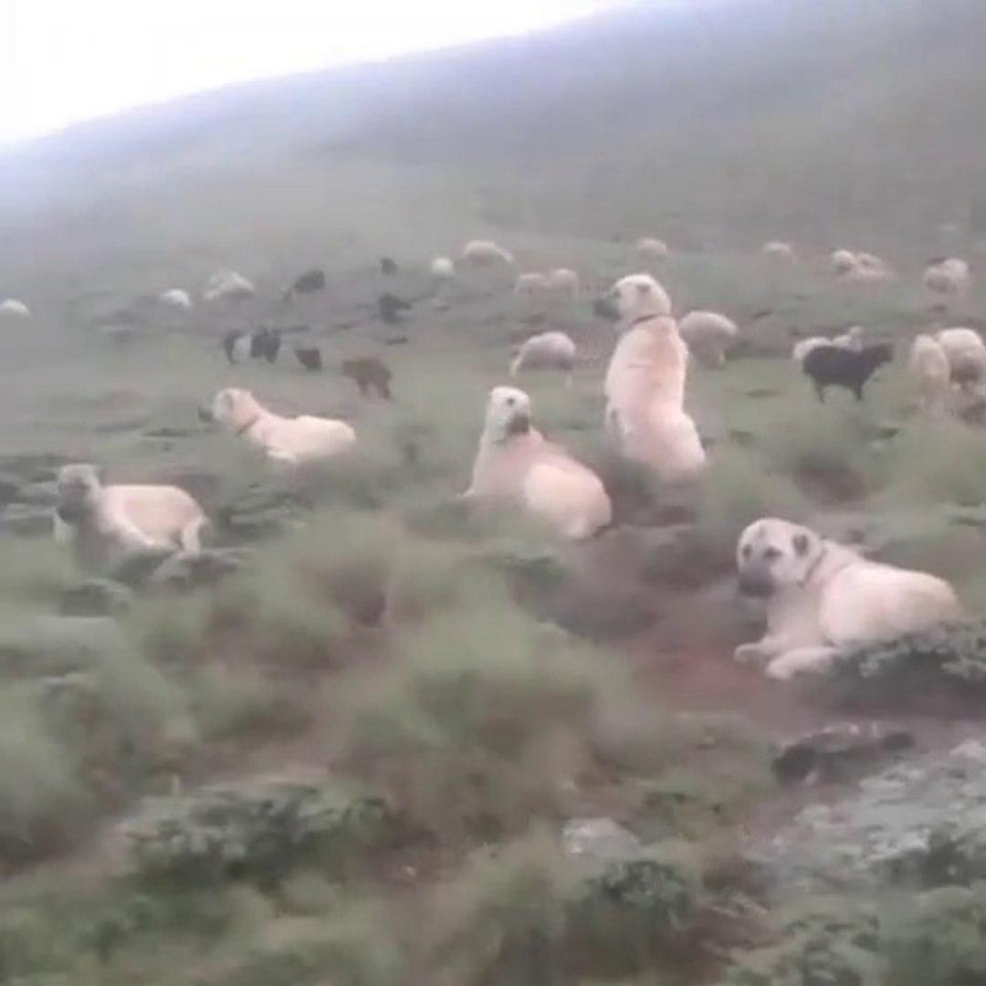 KANGAL ve COBAN KOPEKLERi KURT PUSUSUNDA - KANGAL DOG and SHEPHERD DOG at MiSSiON SHEEPS