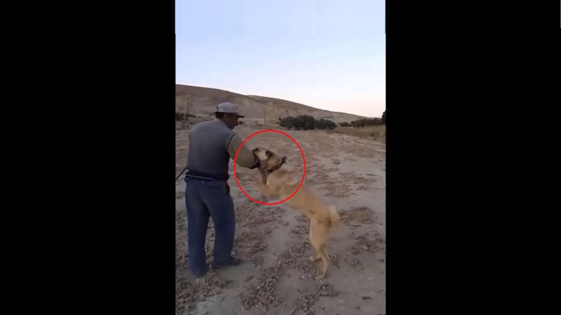 COBAN KOPEKLERi GOREV BASINDA - ANATOLiAN SHEPHERD DOGS and SHEEP WATCH