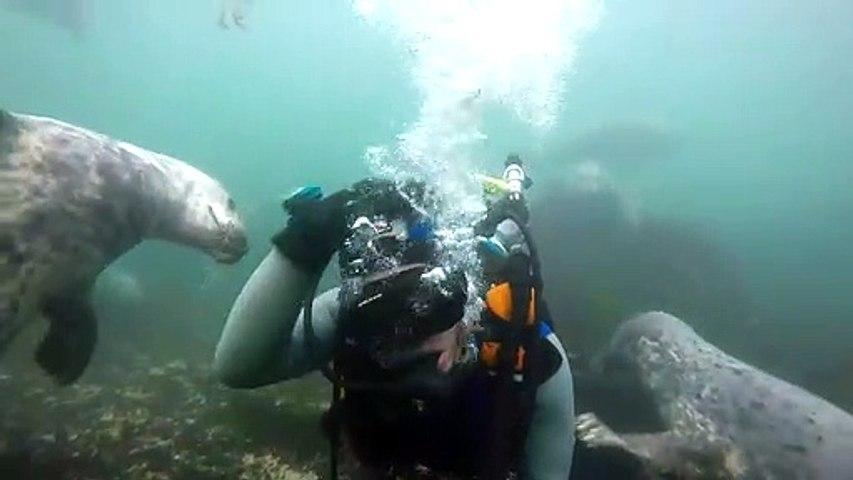 Des phoques curieux viennent embeter un plongeur