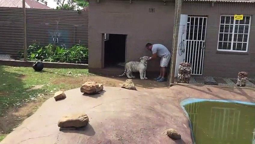 Ne jamais tourner le dos à un tigre... l'animal est taquin
