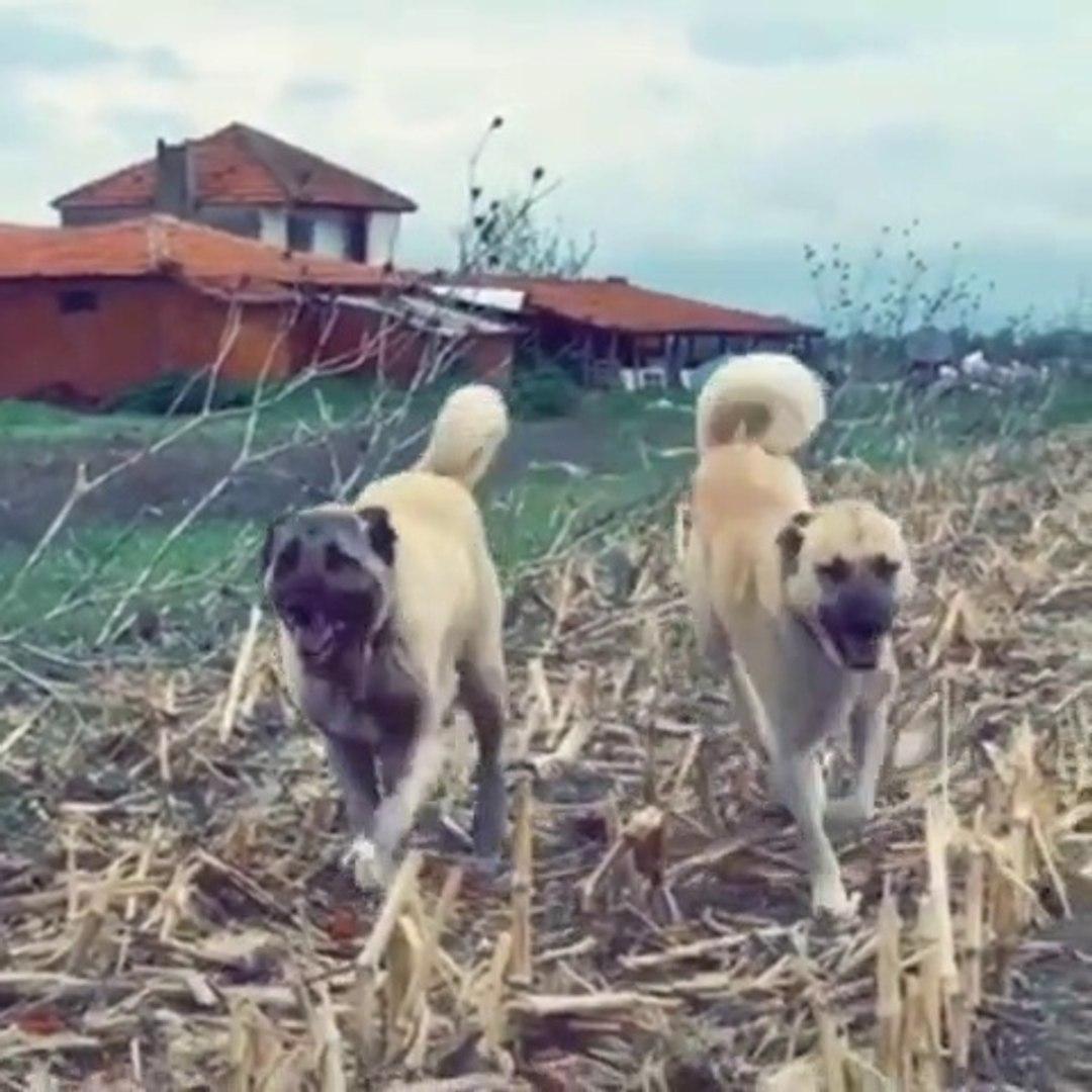 YAKISIKLI ASLAN KANGAL KOPEKLERi - KANGAL SHEPHERD DOGS