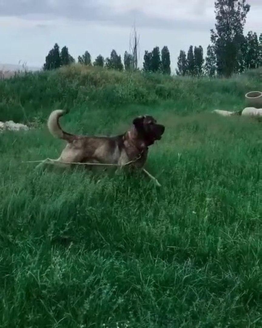 YOL YEMEZ COBAN KOPEGi DAYI VAR - BLACK HEAD ANATOLiAN SHEPHERD DOG