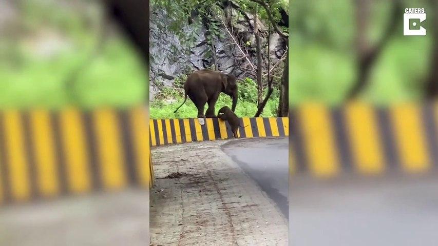 Cette maman éléphant aide son petit à grimper une barrière