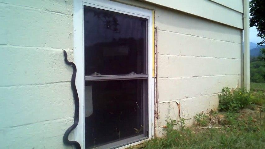 Ce serpent grimpe au mur sans difficulté