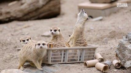 Le zoo de Granby retourne à ses moutons | COVID-19 | Reportage