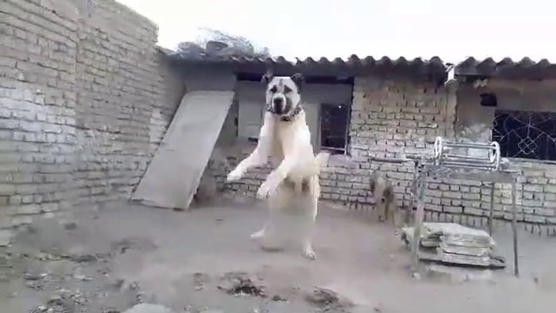 ADAMCI AFGAN COBAN KOPEGi - ANGRY AFGHAN SHEPHERD DOG
