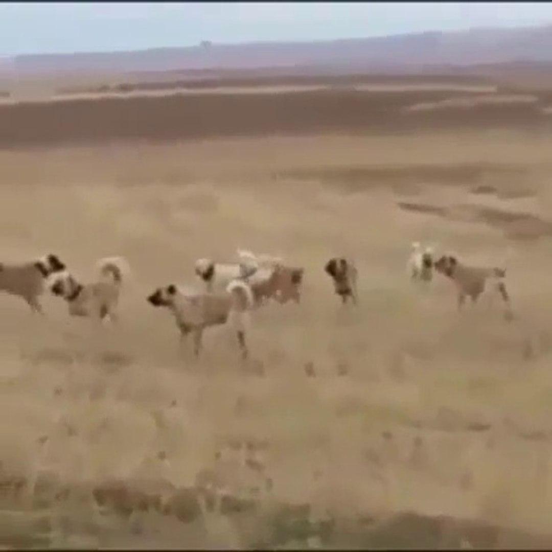 KANGALLAR ve COBAN KOPEKLERi KARSI KARSIYA - ANATOLiAN SHEPHERD DOGS vs KANGAL DOGS
