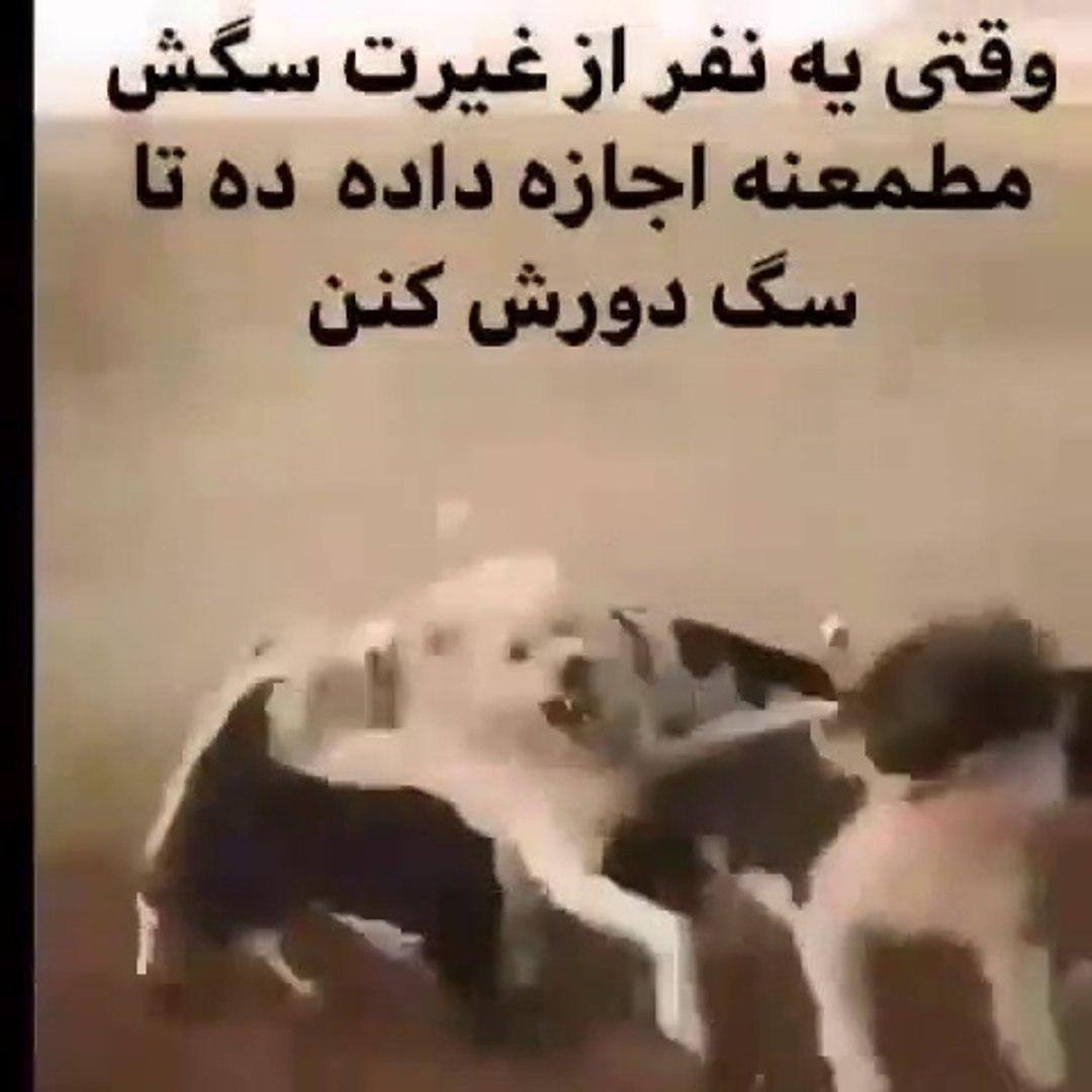 iRAN COBAN KOPEKLERi YiNE EKSINDA - PERSiAN SHEPHERD DOGS VS