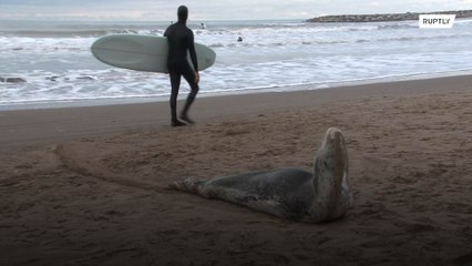 Injured leopard seal found by locals and rescued in Argentina