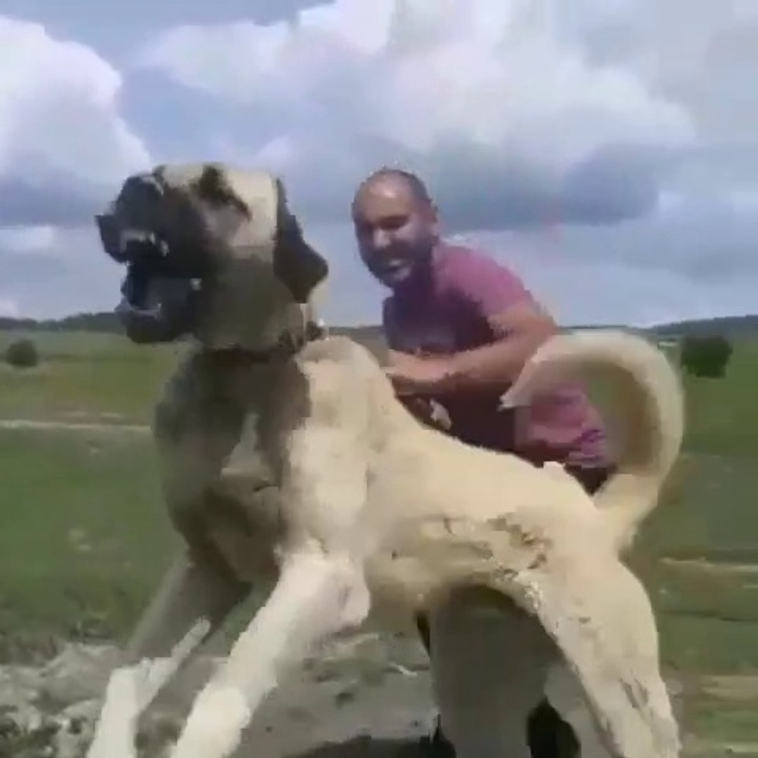 SERi VE OFKELi ANADOLU COBAN KOPEGi - VERY VERY ANGRY ANATOLiAN SHEPHERD DOG