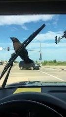 Ce corbeau ne veut vraiment pas lâcher l'essuie-glace !