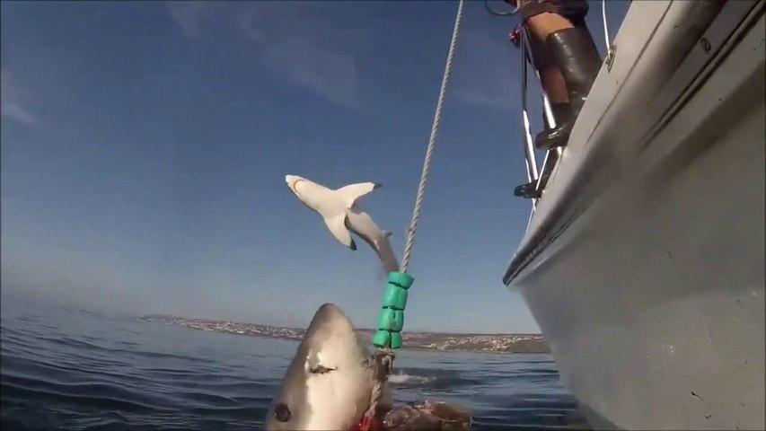 2 grands requins blancs en pleine chasse à côté de ces pêcheurs