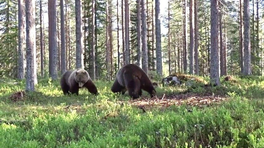 Il filme l'impressionnant face à face entre 2 grizzlis