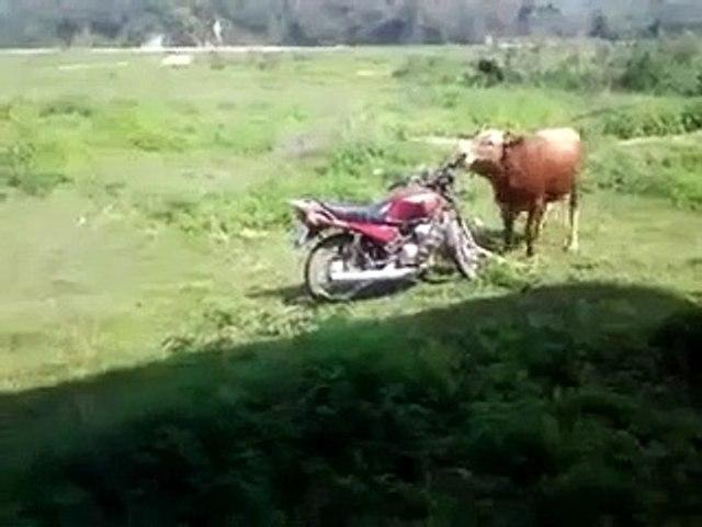 Ce taureau avait juste envie de faire un tour de moto
