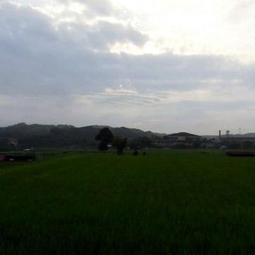Rice Fields After the Rain in Japan