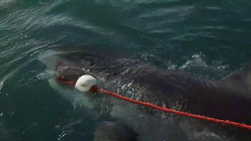 Ils ont un très gros poisson au bout de la ligne... Grand requin blanc